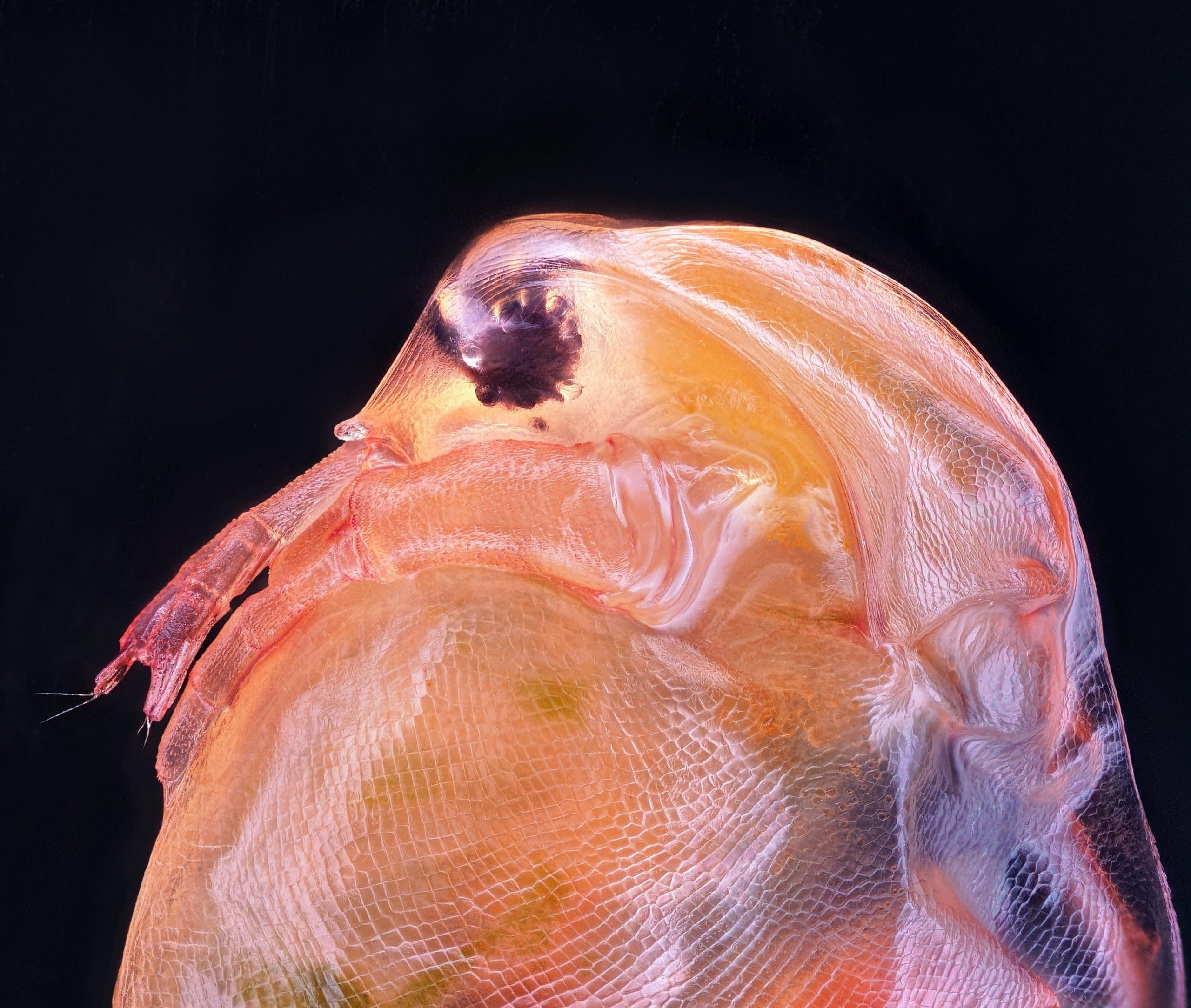 Большая дафния (вид ракообразных)