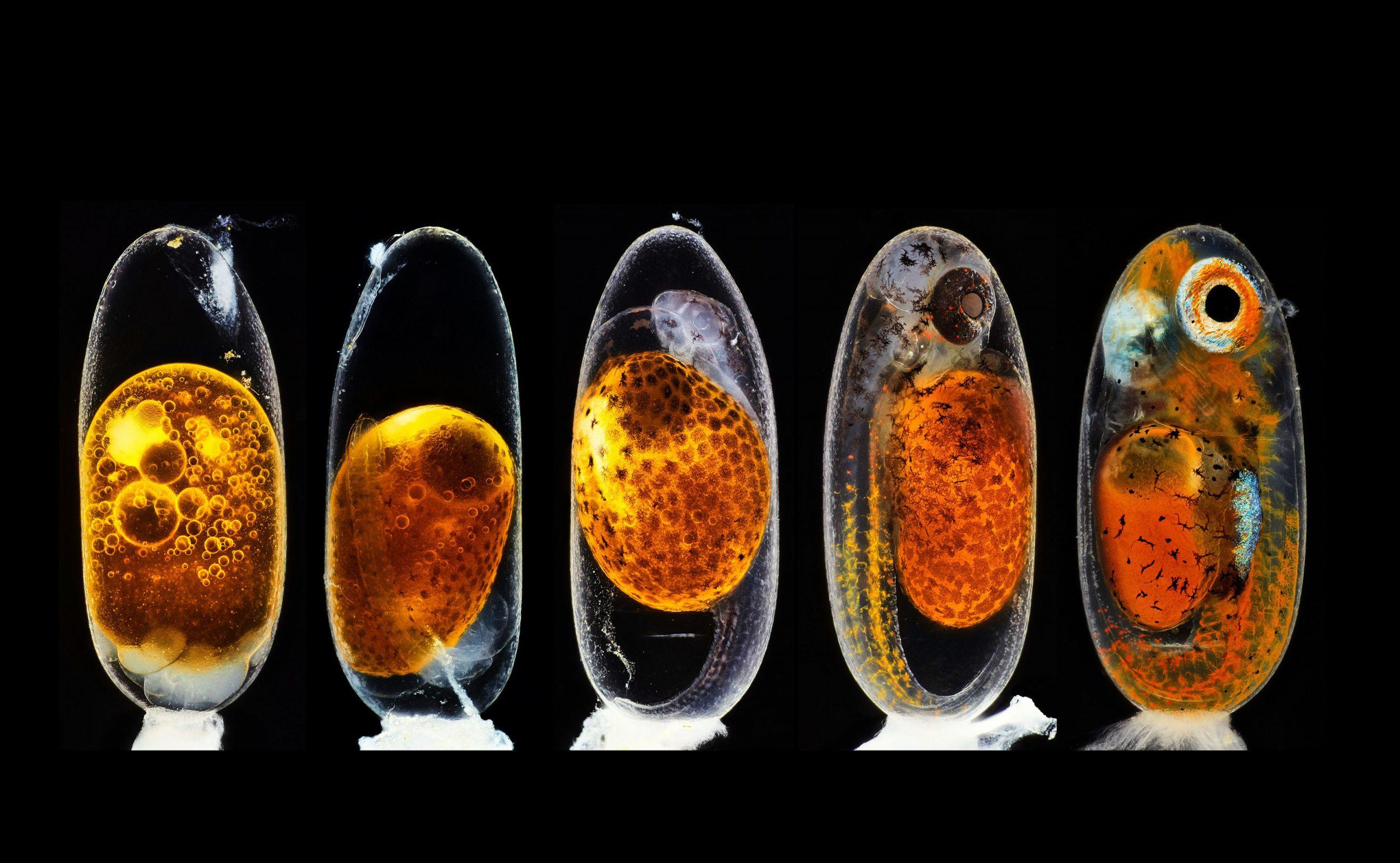 Развитие эмбриона рыбы-клоуна